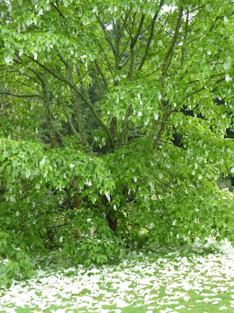 Hankerchief Tree