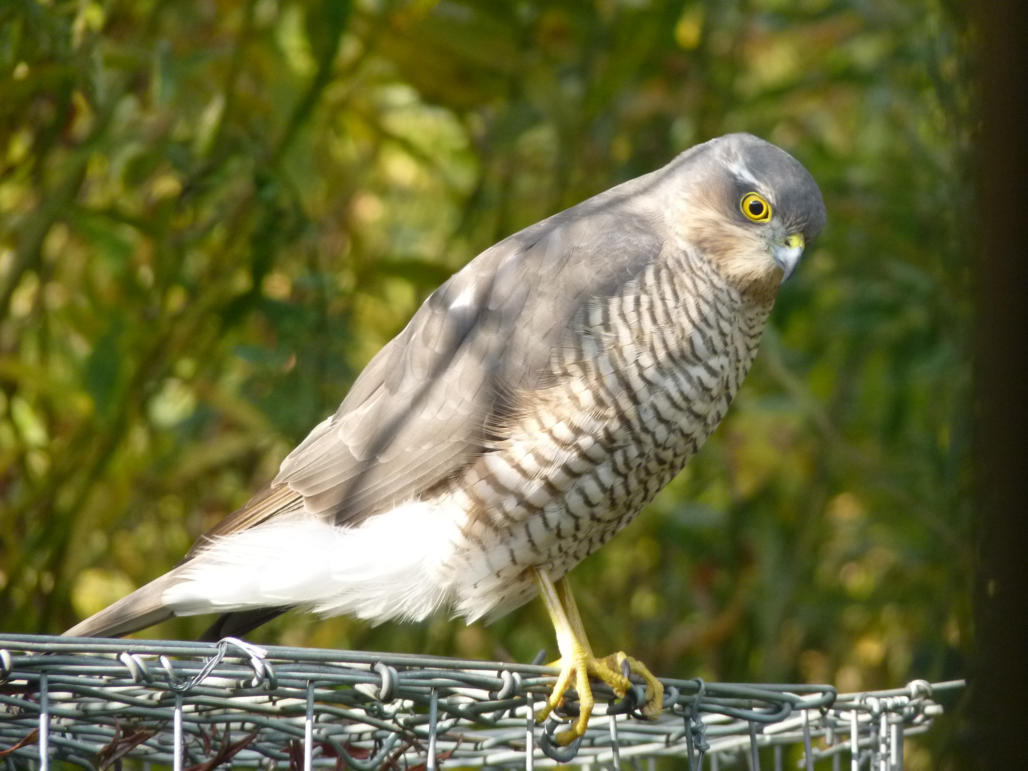 Sparrowhawk - yes really, that close!