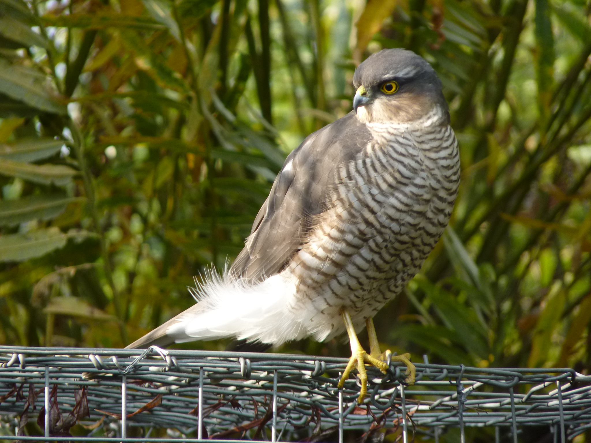 Peregrine Falcon - other profile